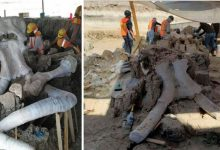 An image showing the mammoth bones that were discovered in Mexico. Image Credit: Vagando con Mafedien / Facebook.