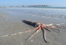 An image of the giant Squid found stranded on a beach in South Africa.