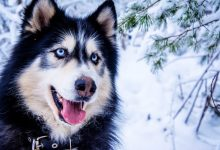 A Husky dog with blue eyes. Image Credit: Pixabay/Borboletadosol