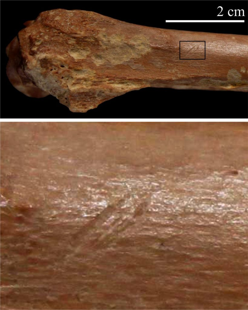 Cut marks consistent with butchering. Image Credit: I. Caceres