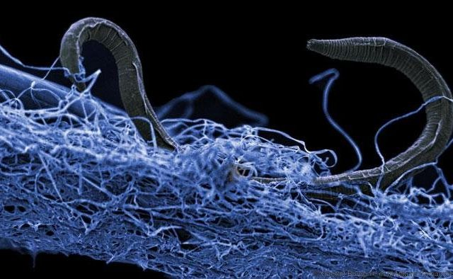 A nematode (eukaryote) in a biofilm of microorganisms. This unidentified nematode (Poikilolaimus sp.) from Kopanang gold mine in South Africa, lives 1.4 km below the surface. Credit: Gaetan Borgonie, Extreme Life Isyensya, Belgium