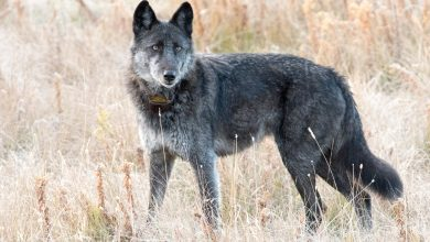 Photo of A Hunter Has Killed The Most Famous Wolf of the Yellowstone National Park