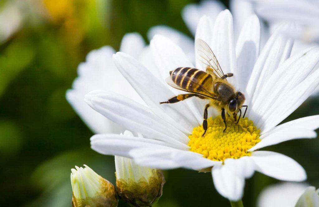 A bee lands on a daisy flower.