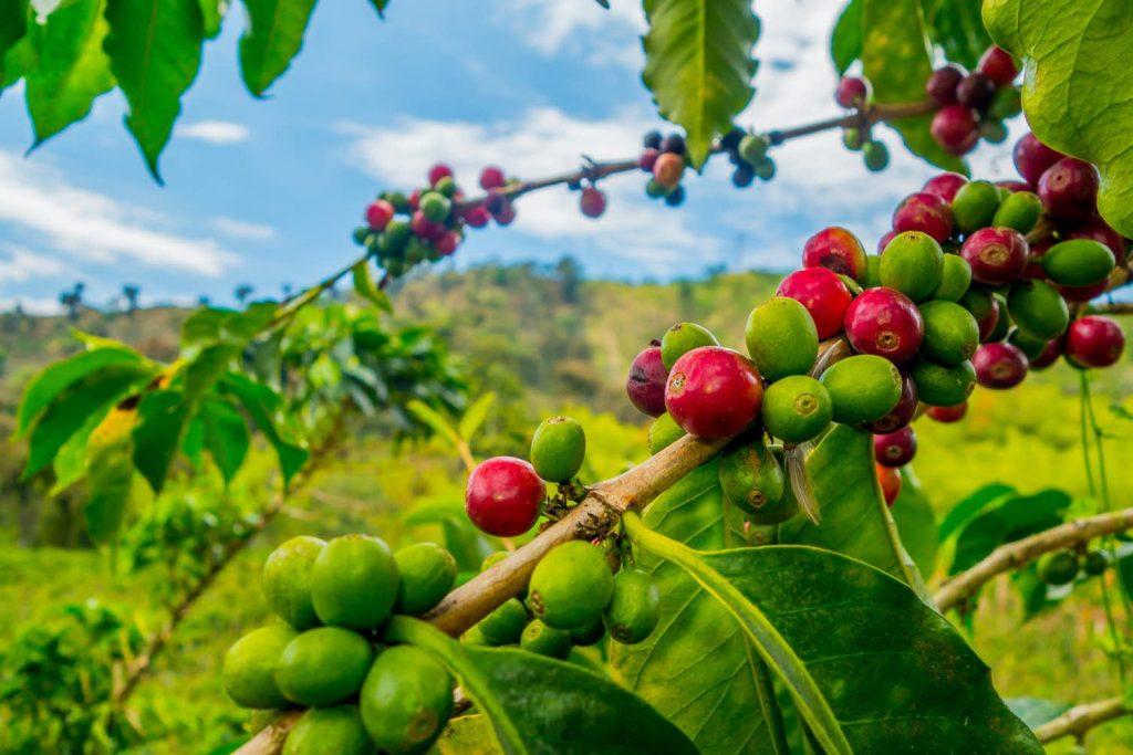 Arabica coffee beans growing in Colombia. Fotos593/Shutterstock.