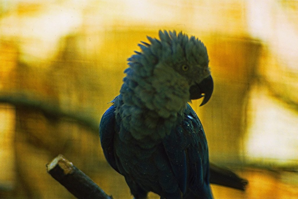 A Spix's Macaw in Vogelpark Walsrode, Walsrode, Germany in about 1980. Image Credit: Wikimedia Commons.