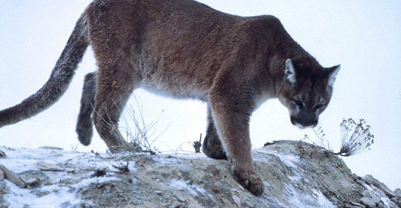 The Eastern Cougar. Image Credit: K. Fink/National Park Service.