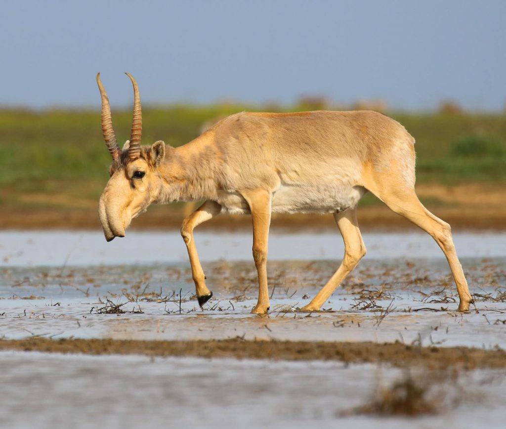 Saiga antelope at the Stepnoi Sanctuary, Russia. Its impressive nose acts as a dust-filter and reverse-cycle air-conditioner, minimizing water loss in dry environments.Image Credit: Wikimedia/Andrey Giljov, CC BY-SA.