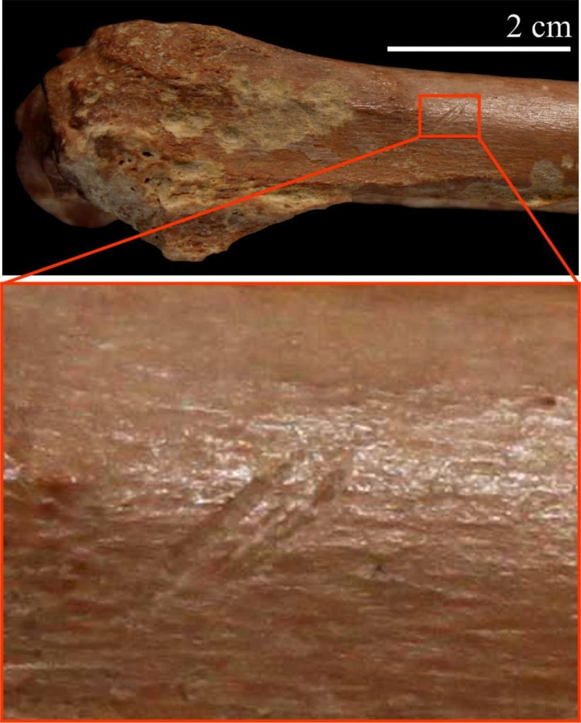 A small bovid bone with stone tool cutmarks. Image Credit: Isabel Caceres.