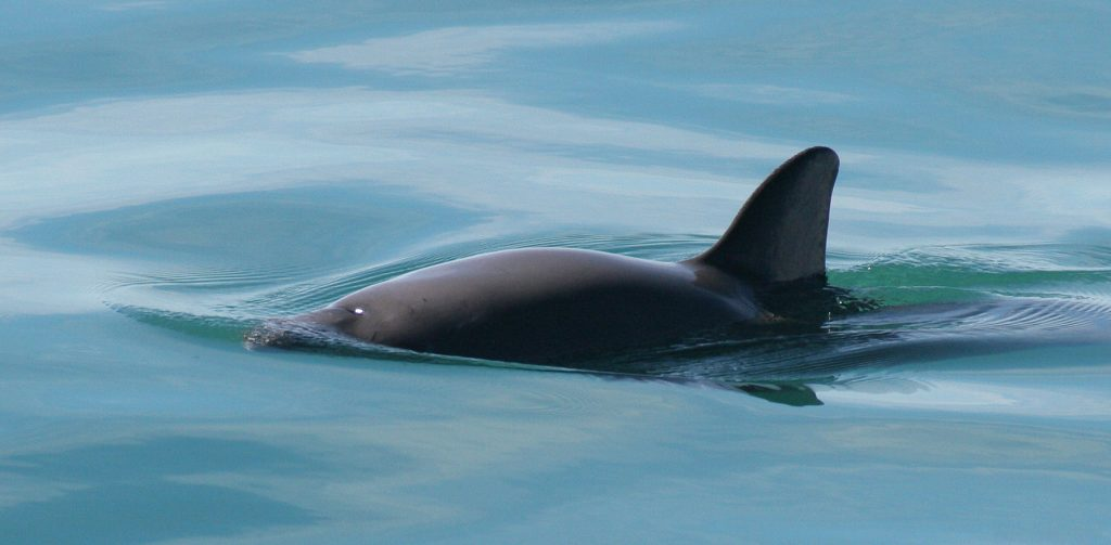 The vaquita (Phocoena sinus) is a critically endangered porpoise species endemic to the northern part of the Gulf of California. Image Credit: Paula Olson / Wikimedia Commons.