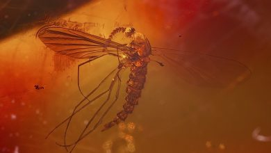 Photo of Stunning Photographs Reveal Ancient Insects Preserved in Amber45 Million Years Ago