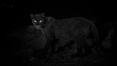 Photo of Legendary 'Rare Black Leopard' Photographed for the First Time in 100 Years