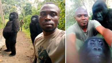 Photo of Endangered Gorillas Pose With Anti-Poaching Rangers in Extraordinary Selfies