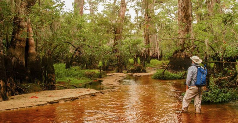 Photo of Researchers Find a 2,624-Year-Old Tree in America, Growing in a Swamp