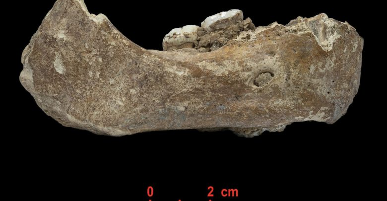 The Xiahe mandible, only represented by its right half, was found in 1980 in Baishiya Karst Cave. Image Credit: Dongju Zhang, Lanzhou University.