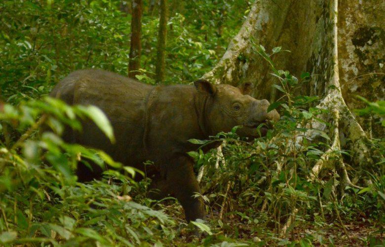 Sabah's Last Male Sumatran Rhino. Image Credit: International Rhino Foundation / Twitter.