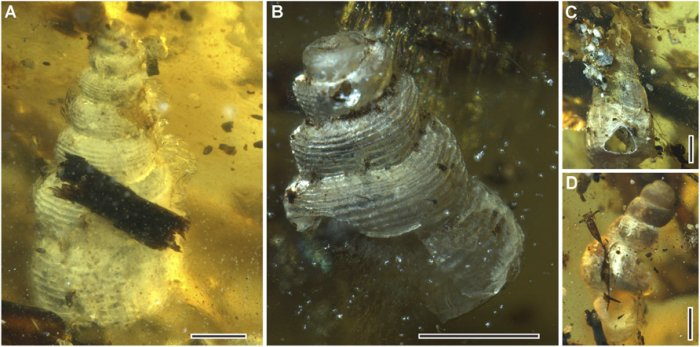 The sea snails that were trapped inside the Amber. Image Credit: (Yu et al., PNAS, 2019).