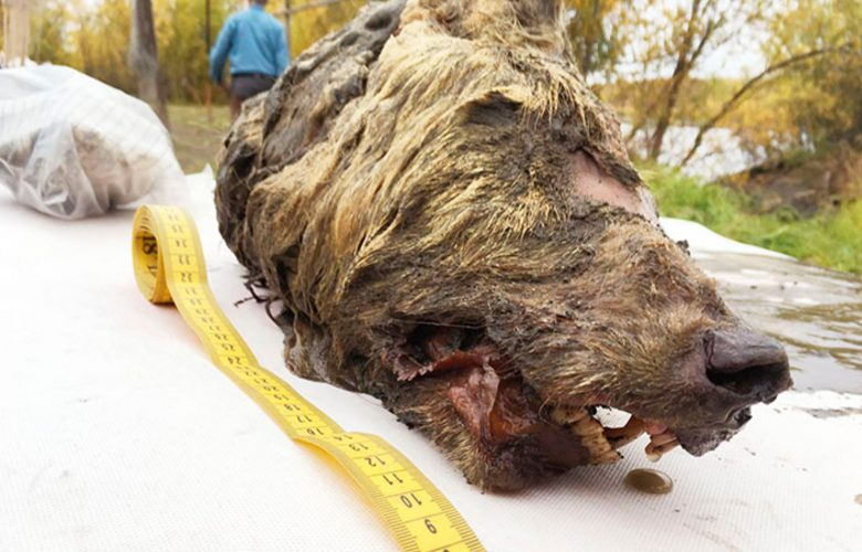 The massive head of an ancient wolf species. Image Credit: The Siberian Times.