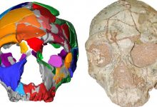 The Apidima 2 skull and its reconstruction. Image Credit: K. Harvati / Eberhard Karls University of Tubingen.