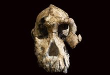 The cranium of a 3.8-million-year-old hominin. Image Credit: YouTube / SciNews.