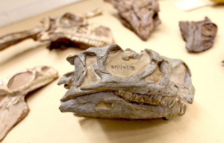 The fossilized skull of the new Ngwevu intloko dinosaur. Image Credit: Kimberley Chapelle.