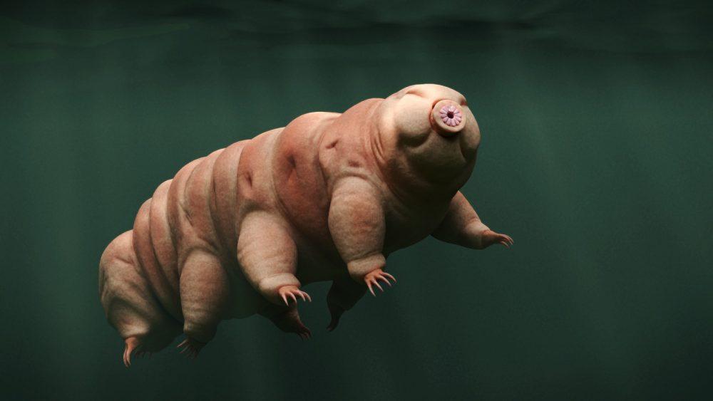 A tardigrade, aka Water Bear. Shutterstock.