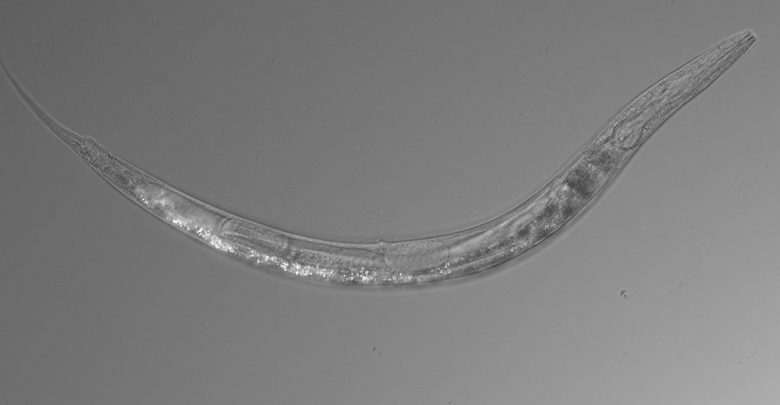 Auanema sp., a newly discovered nematode species in Mono Lake. Image Credit: Caltech.