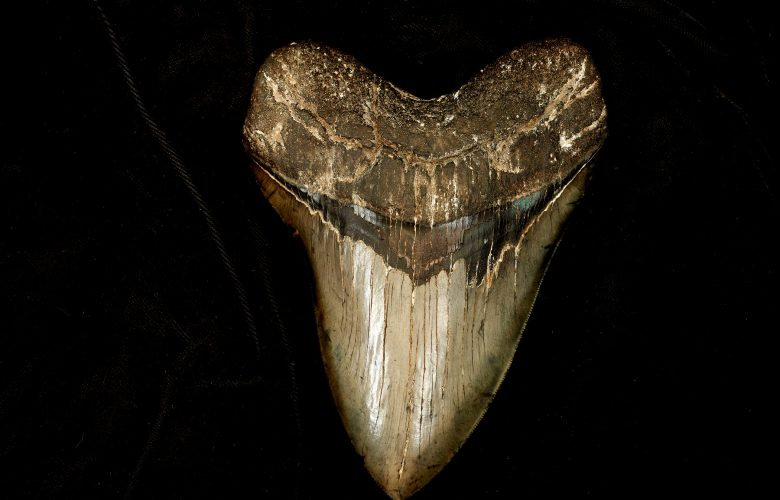 An image of a Megalodon tooth. Shutterstock.