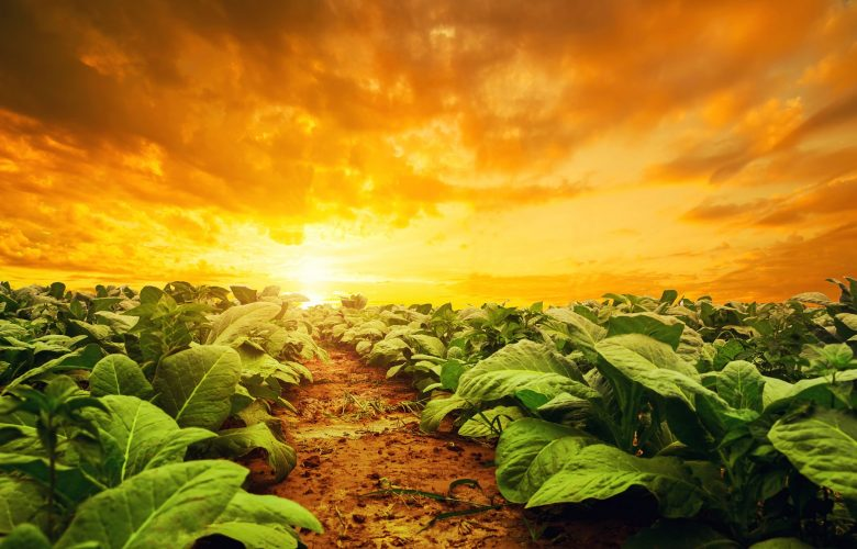 An image of a Tobacco plantation. Shutterstock.