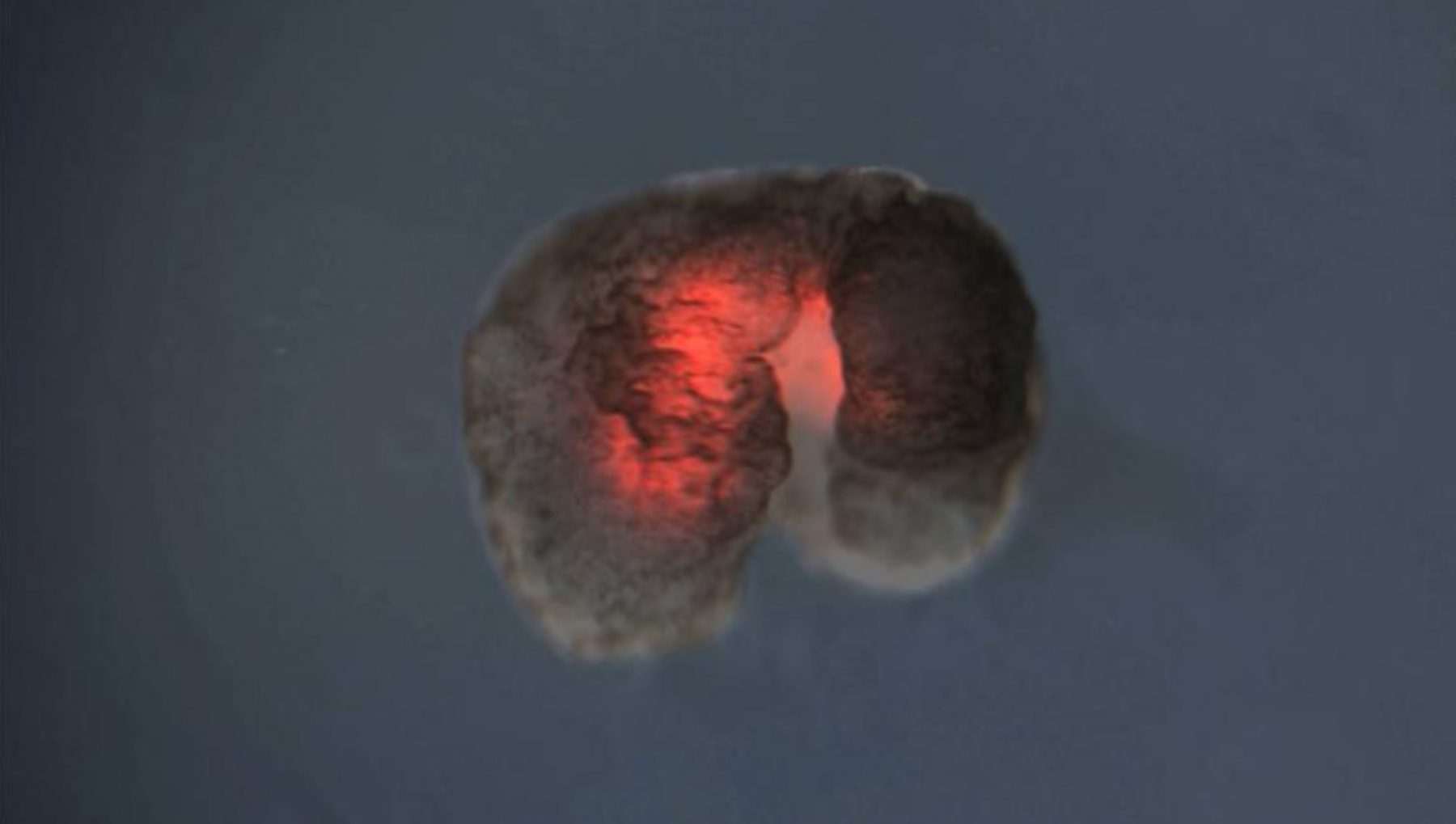 This image shows a Xenobot with a red heart muscle. Image Credit: Douglas Blackiston.