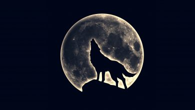 An image of a wolf howling at the moon visible in the background. Shutterstock.