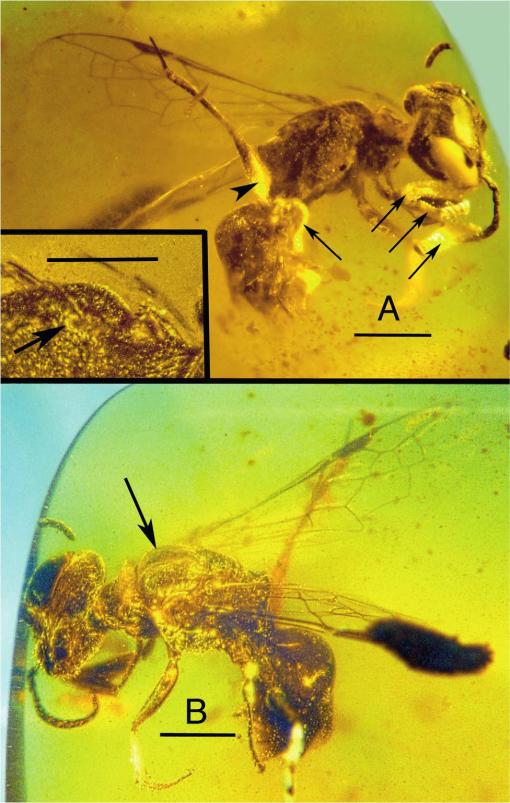 An image of the amber-preserved bee. A: showing the right lateral view of the body. B: showing the left lateral view of the body. Image Credit: George Poinar Jr. / OSU College of Science.