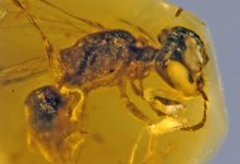 This image shows a fossilized 100-million-year-old Bee preserved in amber. Image Credit: George Poinar Jr. / OSU College of Science.