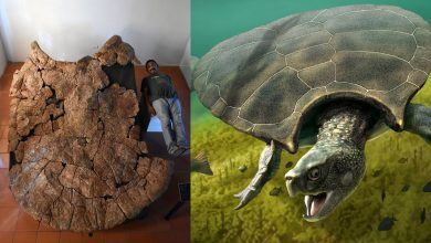 Photo of Meet Stupendemys Geographicus: the Largest Turtle to Ever Live on Earth