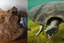 An image showing Venezuelan Palaeontologist Rodolfo Sanchez and a male carapace of the massive turtle species dubbed Stupendemys geographicus, and an artists rendering of what the turtle may have looked like. Image Credit: University of Zurich/Edwin Caden.