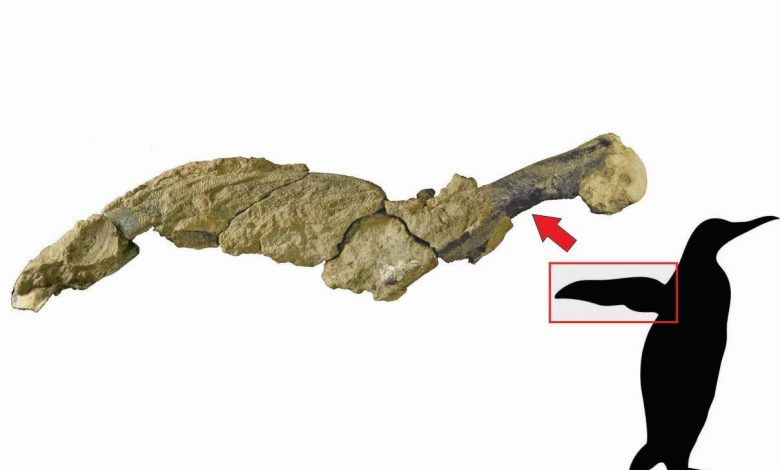 Photo of Unique Discovery: Researchers Find Fossilized Skin of Giant Penguin in Antarctica