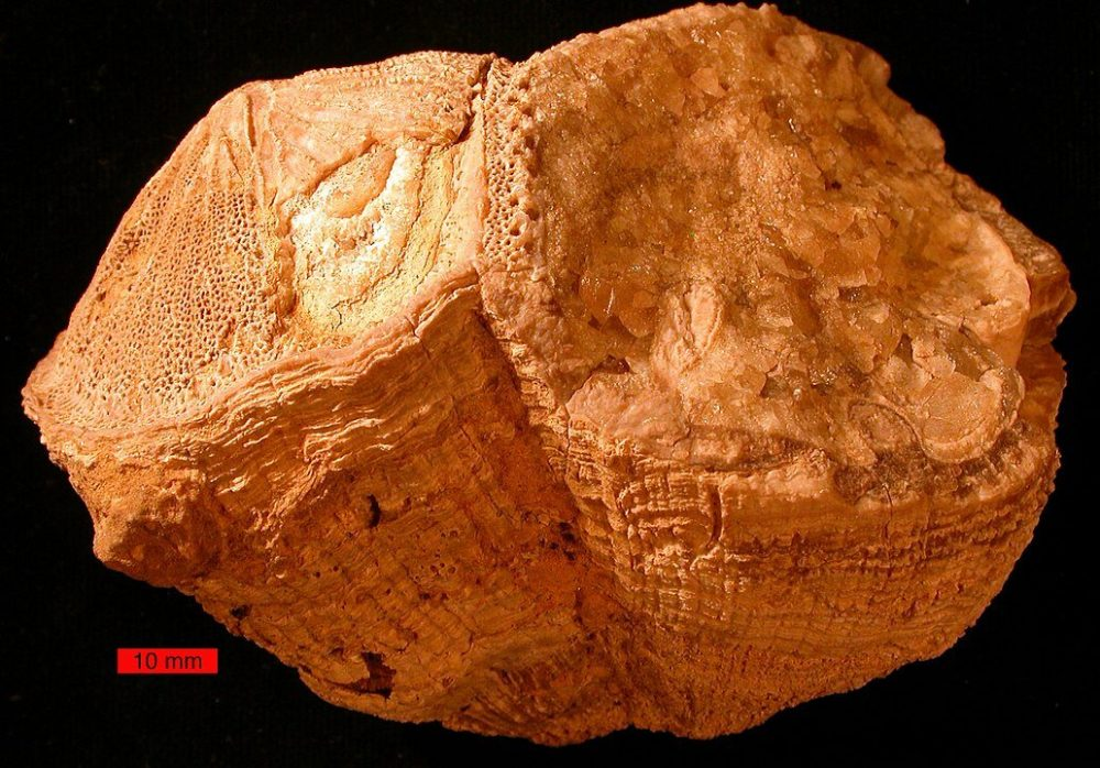 An image showing the Fossil rudist bivalves (Vaccinites) from the Al-Hajar Mountains. Image Credit: Paleoceanography and Paleoclimatology.