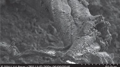 SEM photo of various fibers displaying a Z twist on a Neanderthal artifact dubbed L6 791. Image Credit: Nature.