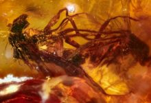Two mating insects trapped in Amber 41 million years ago. Image Credit: Jeffrey Stilwell.