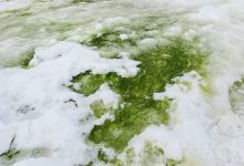 An image showing Green snow algae, Rothera Point, Antarctica. Image Credit: Matt Davey.,