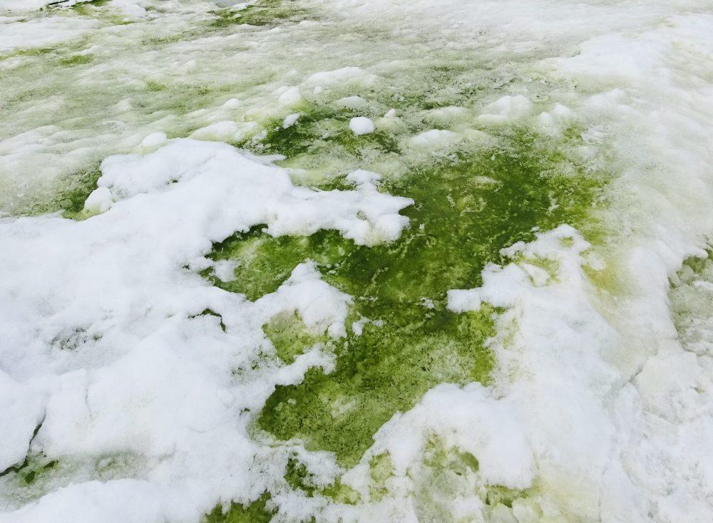 An image showing Green snow algae, Rothera Point, Antarctica. Image Credit: Matt Davey.,