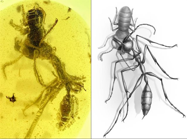 A Hell Ant snatching its unsuspecting victim, caught in amber. Image Credit: (Barden et al., Current Biology, 2020).