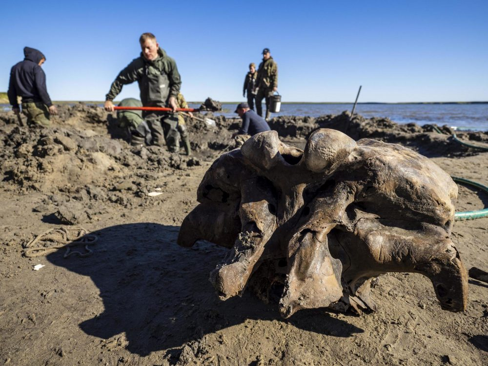 Mammoth bones of the specimen. Image Credit: AP.
