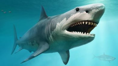Photo of Little-Known Curiosities About the Largest Shark On Earth; the Megalodon