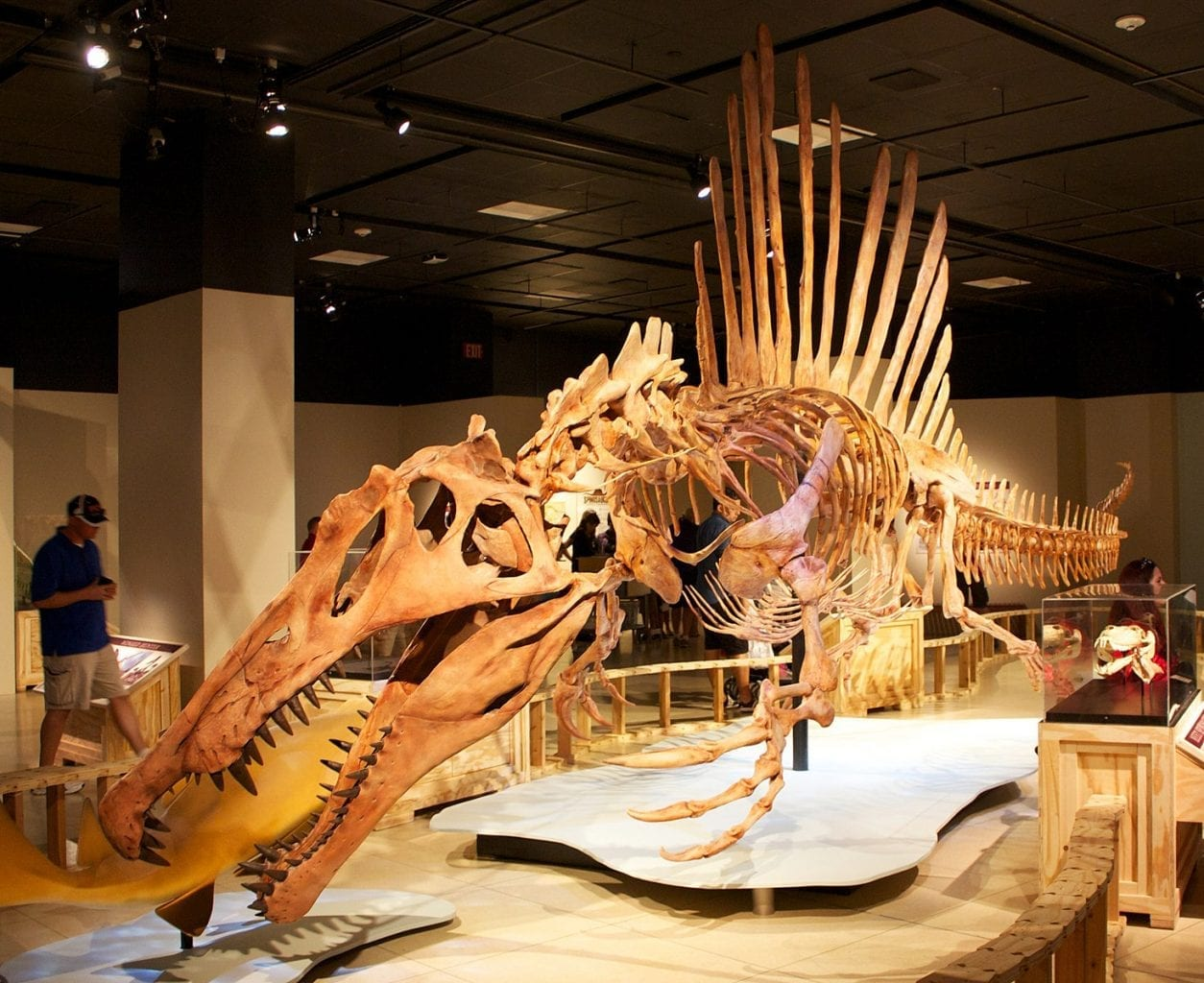 Reconstructed skeleton of Spinosaurus.