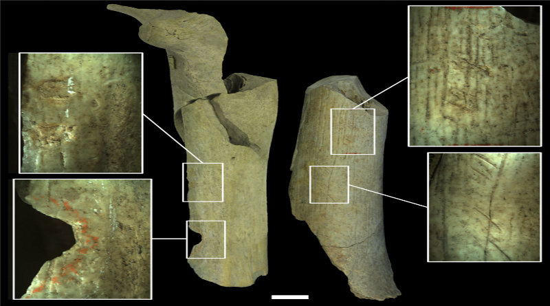 Bones from the Neanderthal archaeological site at Goyet, Belgium show signs of cannibalism. Whether it was due to global warming or not, our ancestors apparently had no food. Credit: Royal Belgian Institute of Natural Sciences