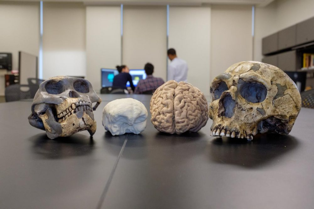 Comparison between the size of the brain of ancient humans and modern humans on the right. Credit: Matt Wood, UChicago