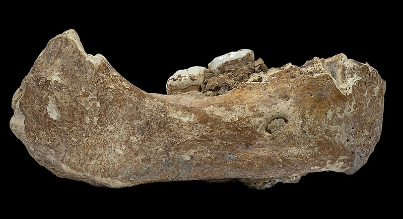The Xiahe Mandible which remained unclassified for decades. Credit: Dongju Zhang