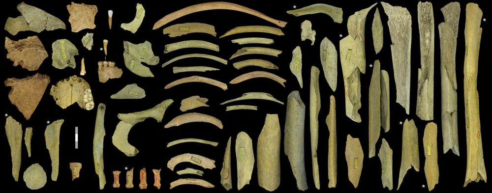 The Neanderthal bone collection discovered in Goyet, Belgium. These bones should have belonged to a minimum of 5 individuals. Credit: Royal Belgian Institute of Natural Sciences