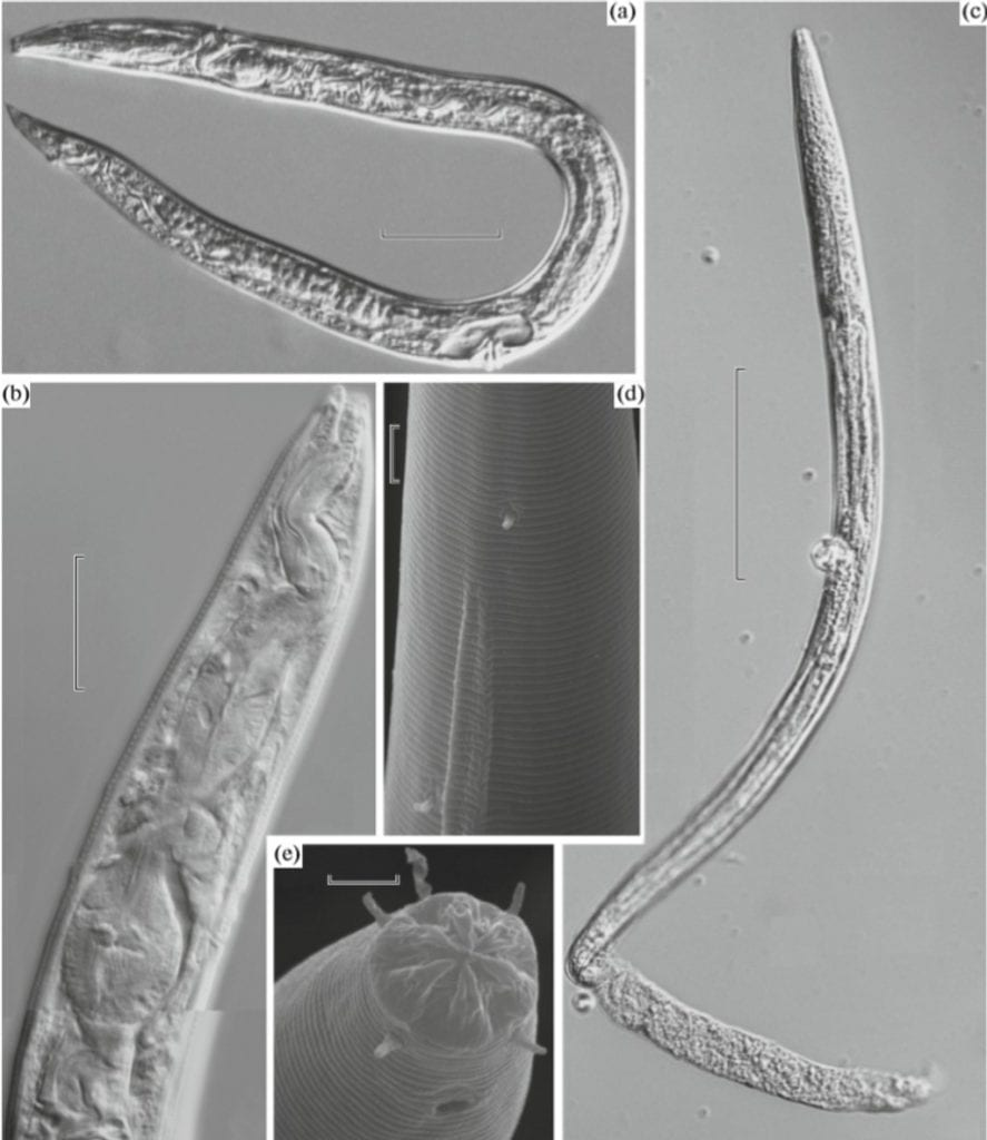 The ancient frozen worms discovered in the Siberian permafrost. Credit: A.V. Shatilovich