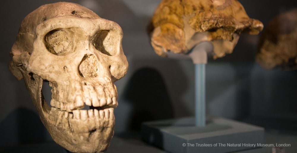 Cast of Skull 5 - the most complete Homo erectus skull discovered by archaeology. Credit: The Trustees of the National History Museum, London